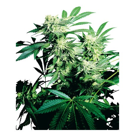 Shiva Skunk Feminized - Sensi Seeds Bank