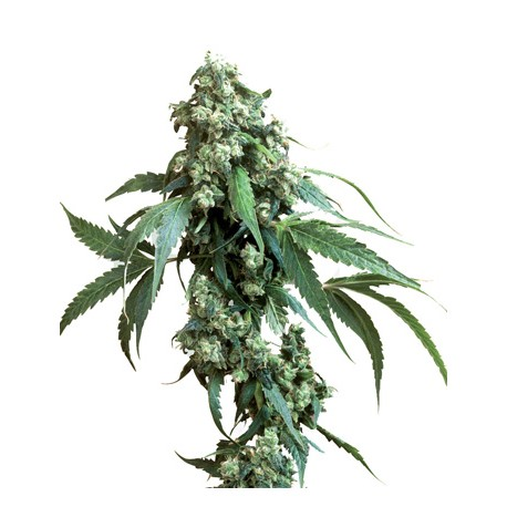 Skunk Kush Feminized - Sensi Seeds Bank