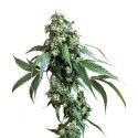 Jack Flash Feminized - Sensi Seeds Bank