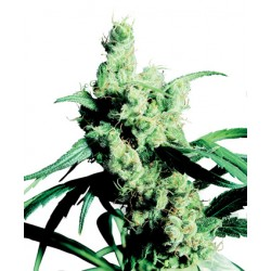 Jack Flash Feminizadas - Sensi Seeds Bank