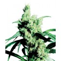 Silver Haze N° 9 Feminized - Sensi Seeds Bank