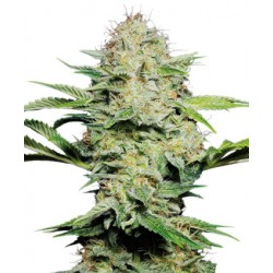 Graines de Sensi Skunk Automatic de la Sensi Seeds Bank