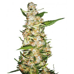 Sensi Skunk Automatic - Sensi Seeds