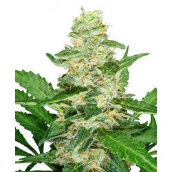 Graines de Super Skunk Automatic de la Sensi Seeds