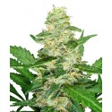 Super Skunk Automatic - Sensi Seeds
