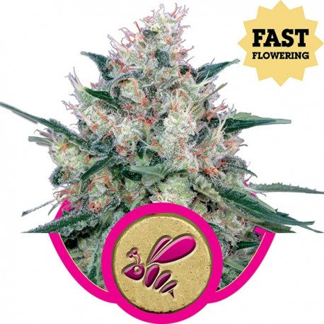 Honey Cream Fast Version de chez Royal Queen Seeds, l'ex Royal Caramel