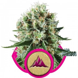 Graines de Critical Kush féminisées de la Royal Queen Seeds