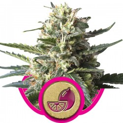 Graines de Lemon Haze - Royal Queen Seeds