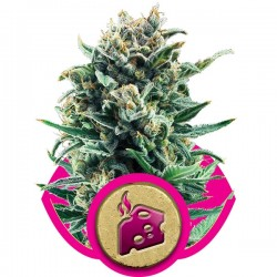 Graines de Blue Cheese de chez Royal Queen Seeds