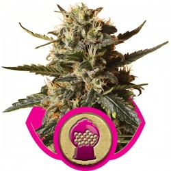 Graines de Bubblegum de chez Royal Queen Seeds