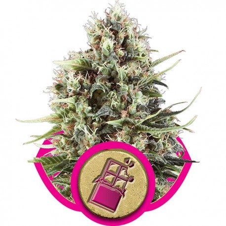 Graines de Chocolate Haze de chez Royal Queen Seeds