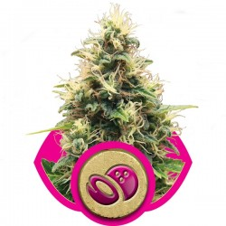 Sour Diesel - Royal Queen Seeds