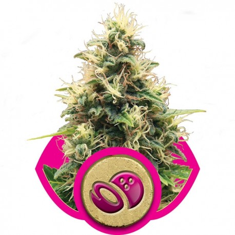 Graines de Somango de chez Royal Queen Seeds