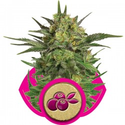 Graines de Haze Berry de la Royal Queen Seeds
