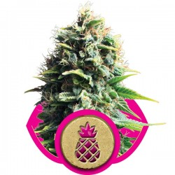 Pain Killer - Royal Queen Seeds