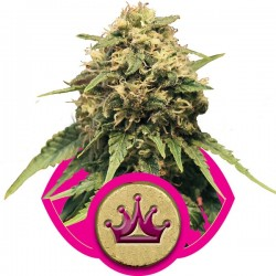 Special Queen N°1 - Royal Queen Seeds