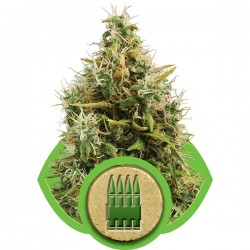 Graines de Royal AK de chez Royal Queen Seeds