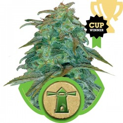 Royal Critical Automatic - Royal Queen Seeds