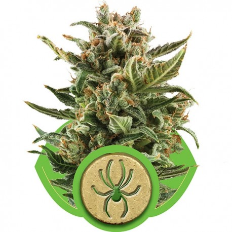 Northern Light Automatic - Royal Queen Seeds
