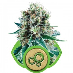Graines de Bubble Kush Autoflo de Royal Queen Seeds