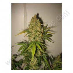 Skunk Special - Female Seeds