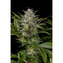 Pineapple Skunk - Humboldt Seeds Organization