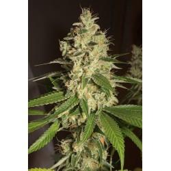 Graines de cannabis féminisées de Raspberry Diesel