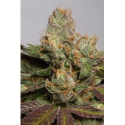 707 Headband - Humboldt Seeds Organization