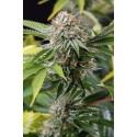 Mango Sapphire - Humboldt Seeds Organization