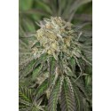 Amherst Sour Diesel - Humboldt Seeds Organization