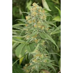 Graines de Green Crack féminisées 60% Sativa - 40% Indica