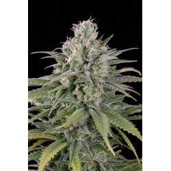 UK Cheese Auto graines de cannabis autofleurissantes