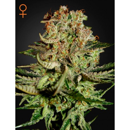 Vente de graines Super Bud de Green House Seeds