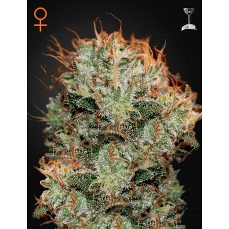 Kaia Kush graines de cannabis