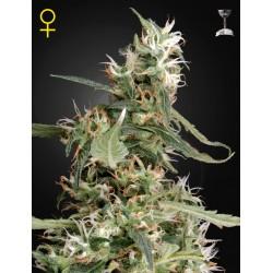 Arjan's Ultra Haze 1 graines de cannabis féminisées