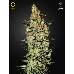 Arjan's Strawberry Haze - Green House Seeds
