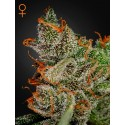 King's Kush - Green House Seeds