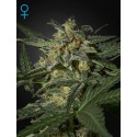 White Widow Autoflowering - Green House Seeds