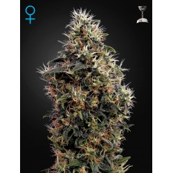 White Widow Autoflorescents - Green House Seeds