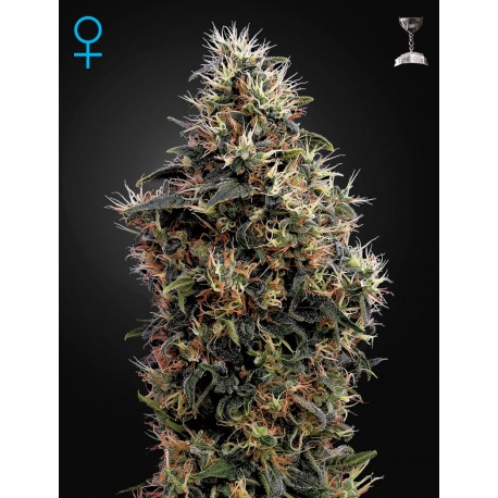 Graines de cannabis Sweet Mango par Green House Seeds