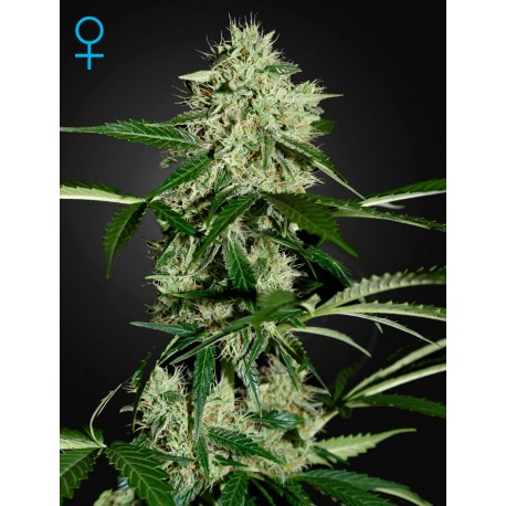 King's Kush Autofiorenti - Green House Seeds