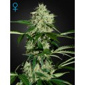 Northern Light Autofiorenti - Green House Seeds