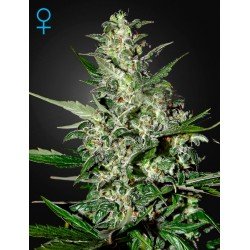 King's Kush Autoflorescents - Green House Seeds