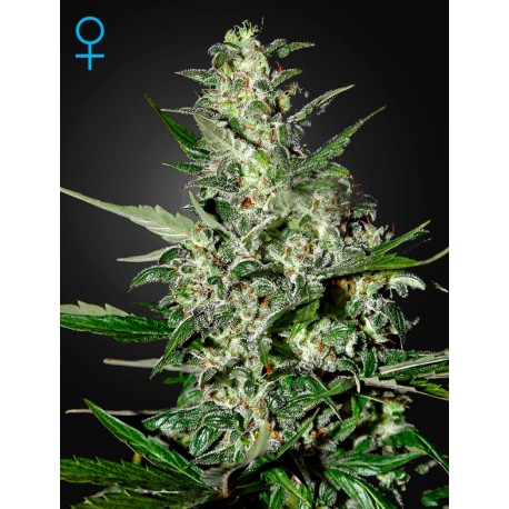 Graines de Super Critical autoflo par Green House Seeds
