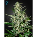 Super Critical Autofloraison - Green House Seeds