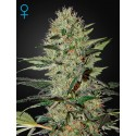 Exodus Cheese Autofloraison - Green House Seeds