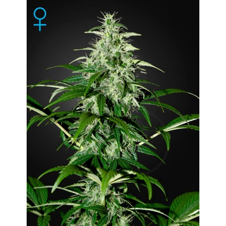 Exodus Cheese Autoflorecientes - Green House Seeds