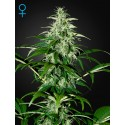 Kalashnikova Autoflorecientes - Green House Seeds