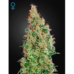 Auto Bomb - Green House Seeds