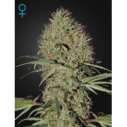 Super Bud Auto - Green House Seeds